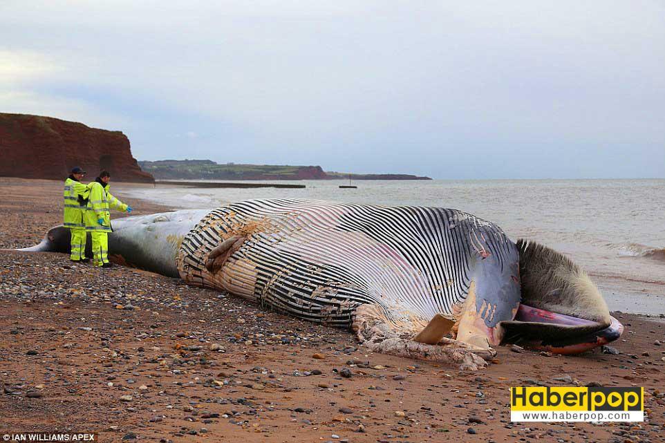 dev-balinayi-sahilde-testereyle-kestiler