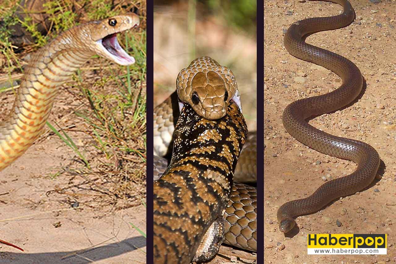 Dünyanın en tehlikeli ve zehirli yılan türleri