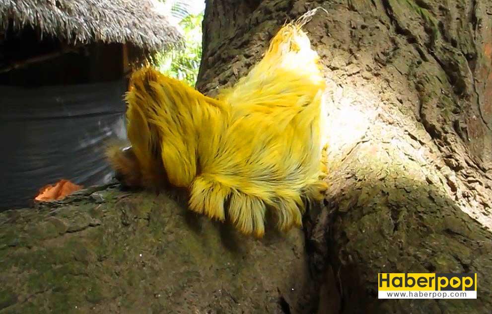 flannel-moth-caterpillar-tuylu-tirtil