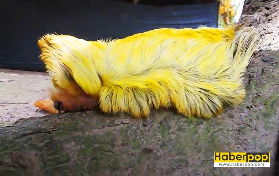 flannel-moth-caterpillar-videosu-goruntusu
