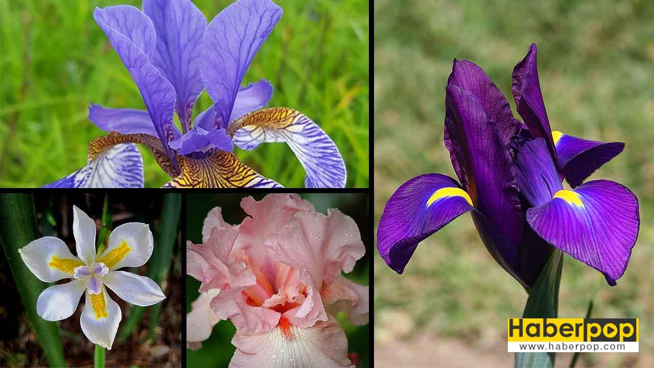 İris çiçeği, anlamı ve özellikleri