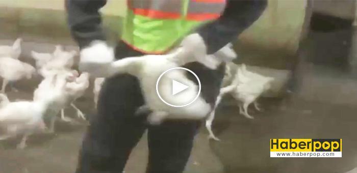 KFC-ve-McDonald'a-verilen-tavukaların-işkence-videosu-ortaya-çıktı-haber-izle