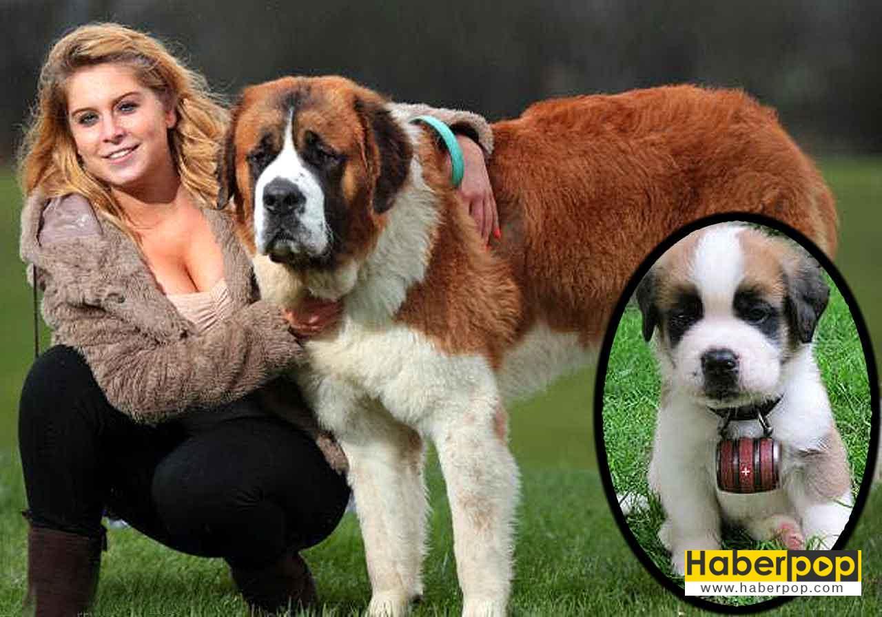 Saint Bernard köpek ırkı