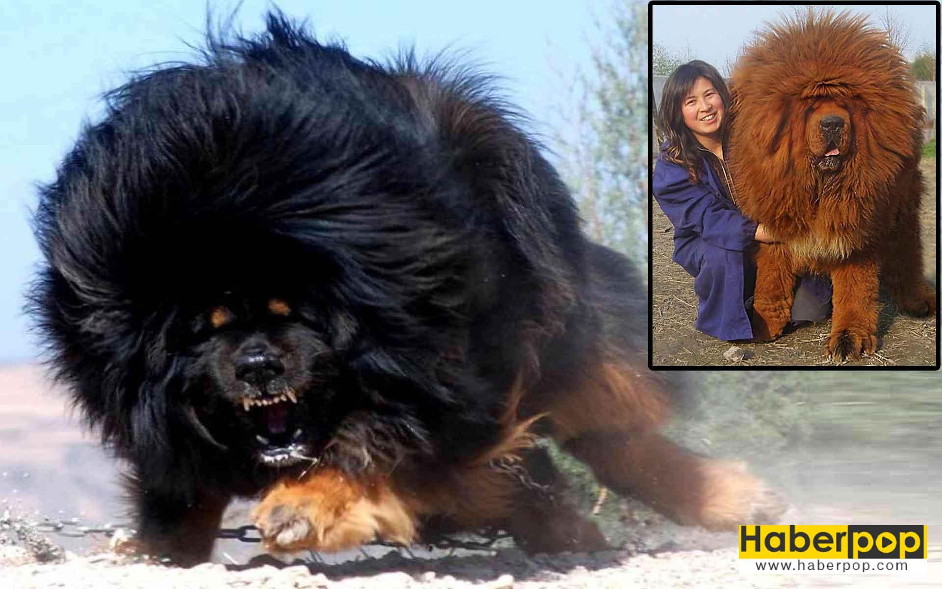 Tibet mastifi: Dünyanın en pahalı köpek