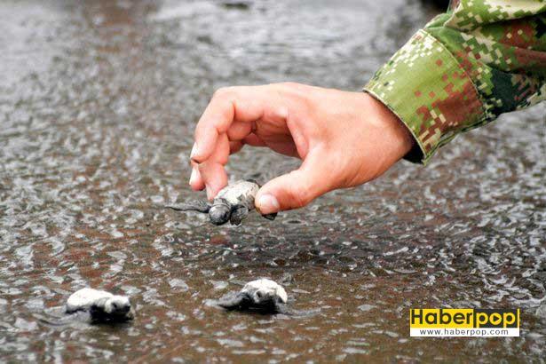 yavru-kaplumbagalar-vip-eskort-esliginde-denizle-bulustu-tuhaf-haberler