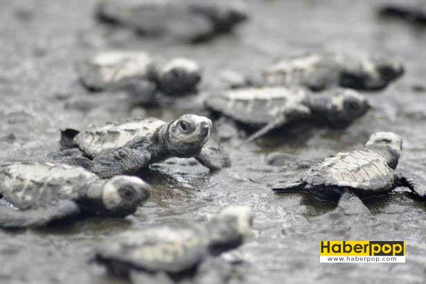 yavru-kaplumbagalar-vip-eskort-esliginde-denizle-bulustu-yok-artik