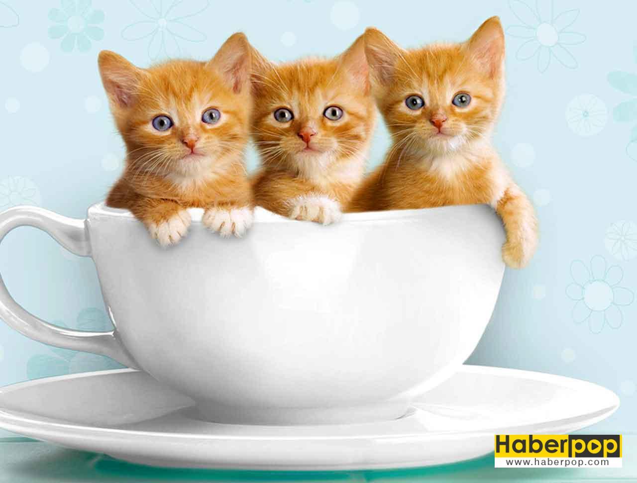 Bir fincan dolusu şirin yavru sarman kediler