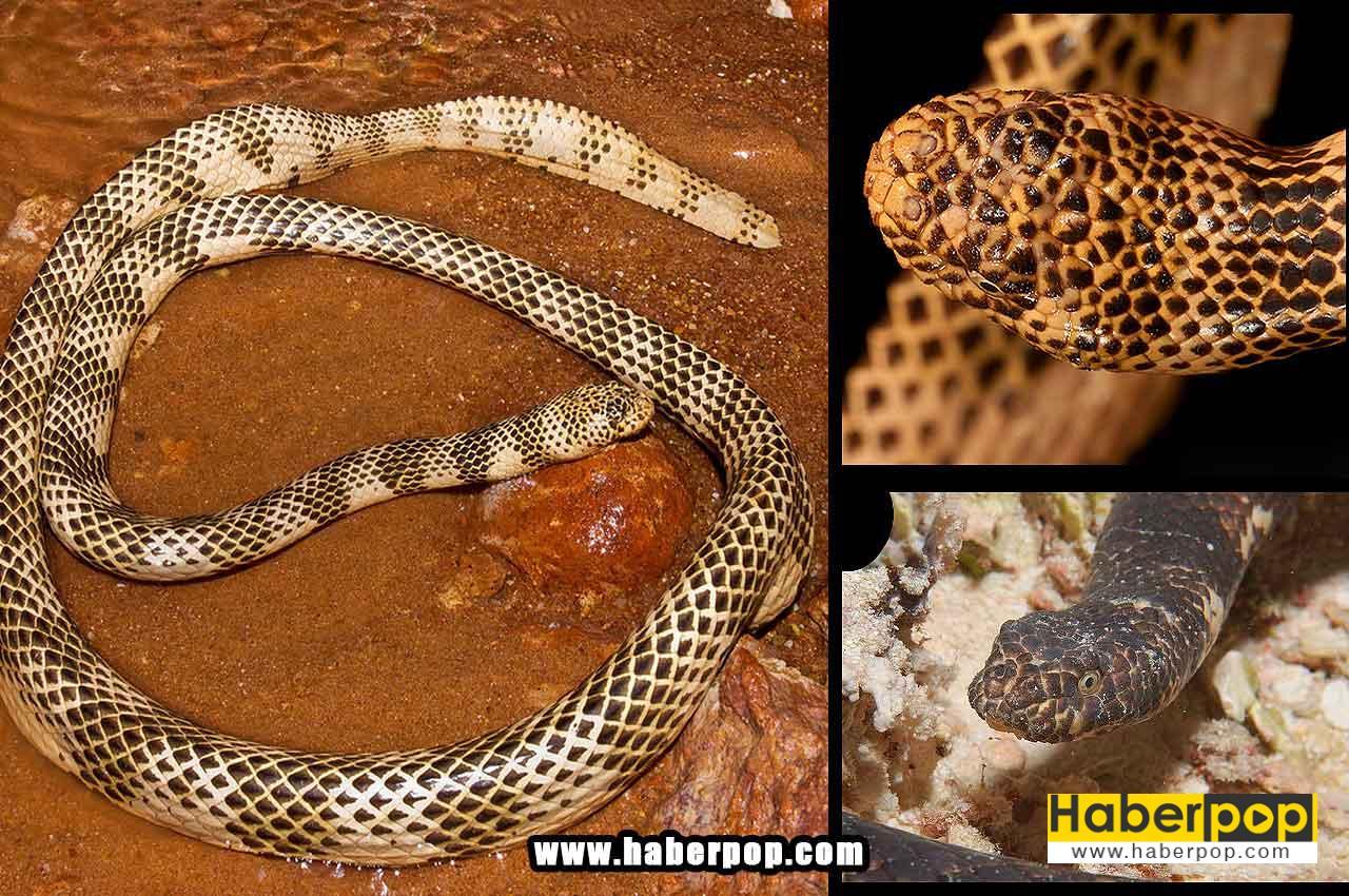 Dünyanın en zehirli deniz yılanı - Dubois deniz yılanı