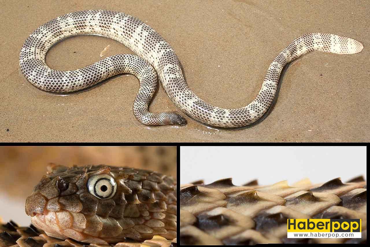 Boynuzludeniz yılanı (Acalyptophis peronii)