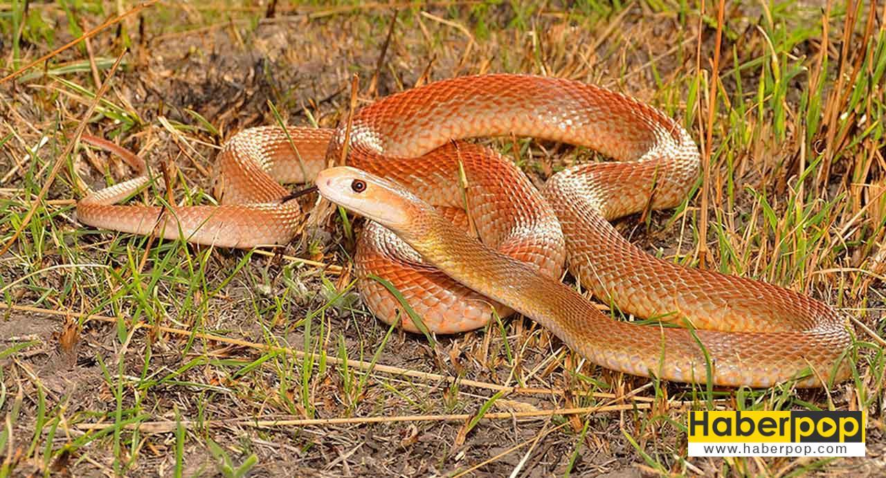 Dünyanın en tehlikeli hayvanları: Kıyı taypanı yılanı