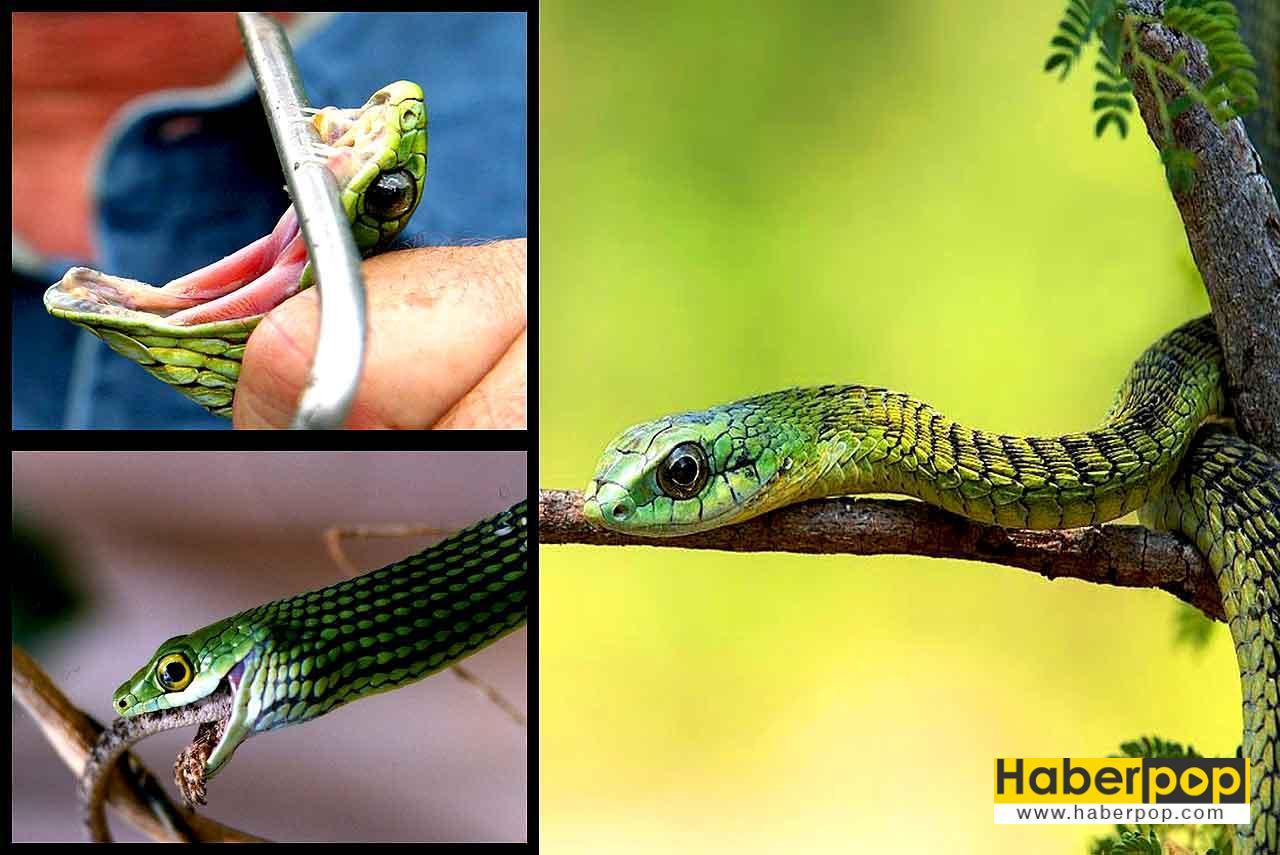 En zehirli yılan türleri: Ağaç yılanı