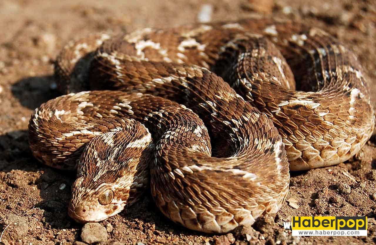 En zehirli yılan: Testere pullu engerek yılanıEchis