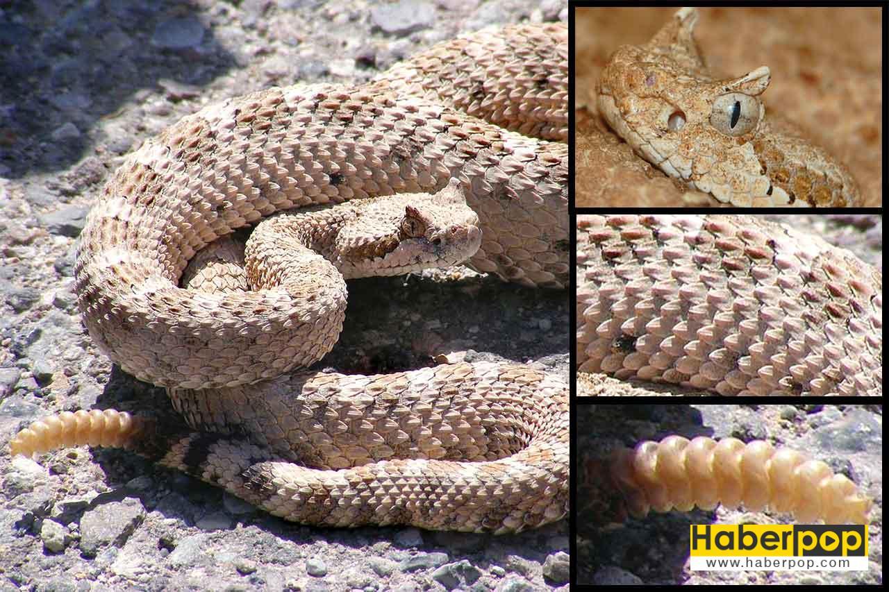 Dünyanın en zehirli 10 yılanı: Çıngıraklı yılan - Crotalus cerastes
