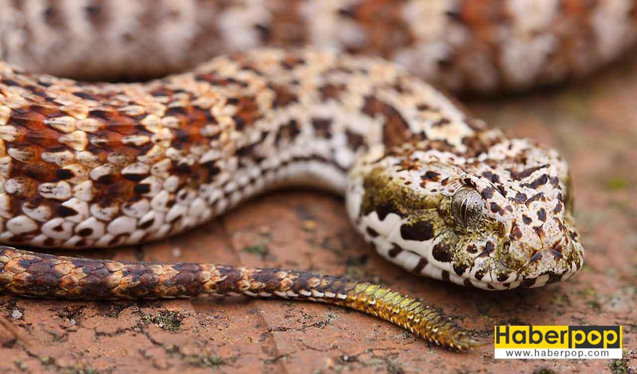 En zehirli yılanlar listesi: Dikenli yılan