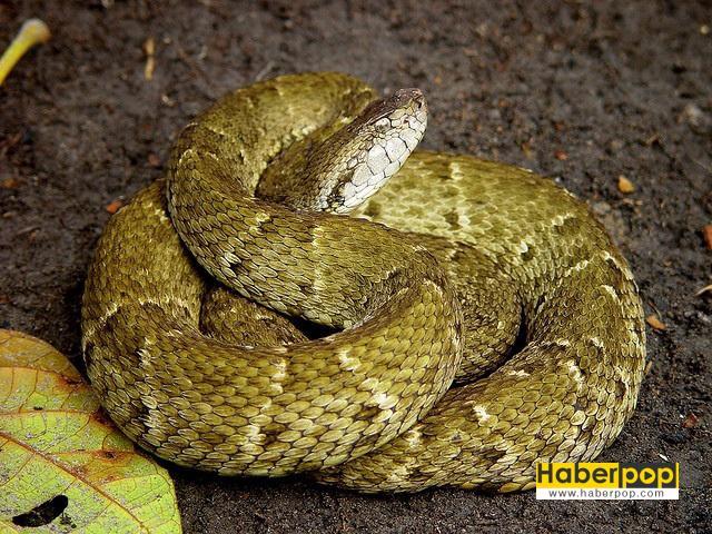 Bayağı mızrak kafalı yılan - Zehirli yılan türleri