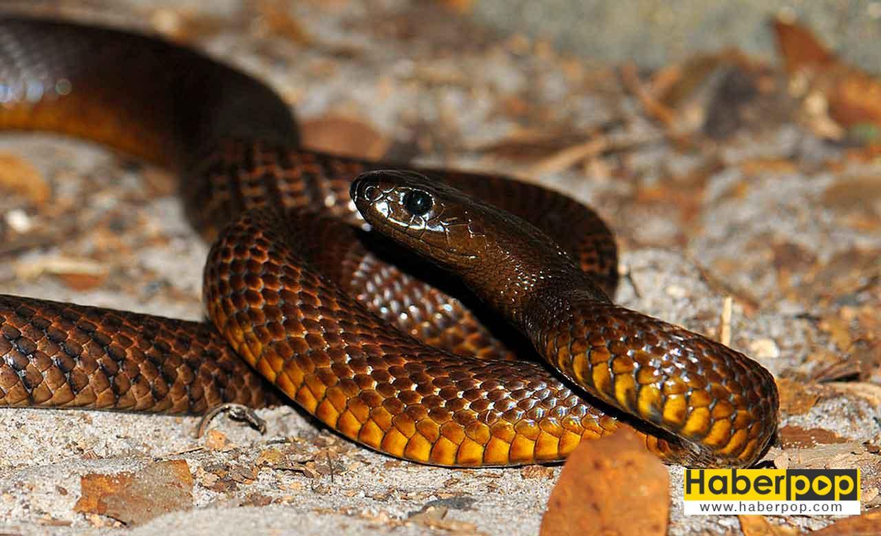 Dünyanın en zehirli yılanı