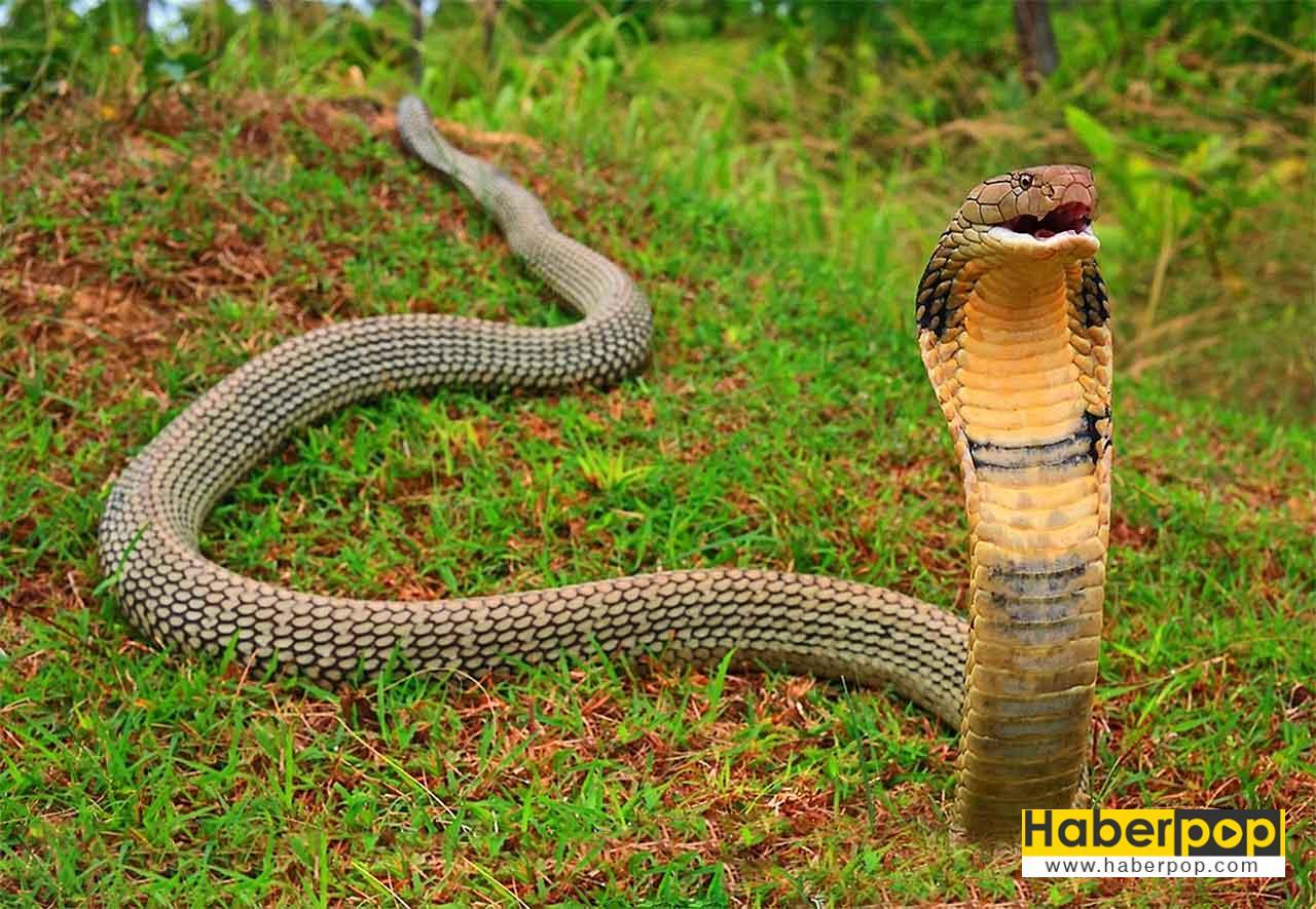 En zehirli yılan türleri: Kral kobra - King Cobra