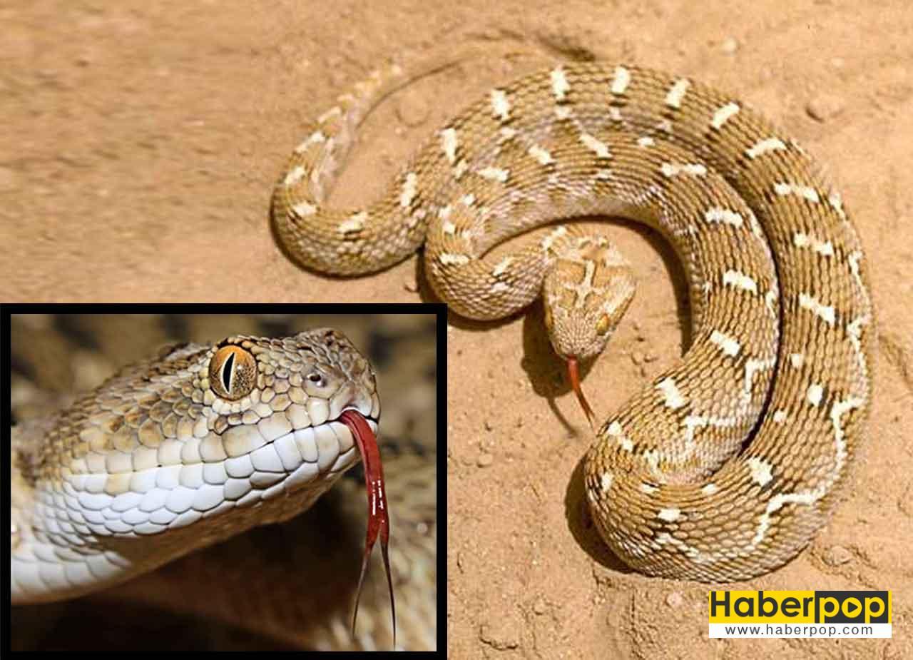 en zehirli yılan türü
