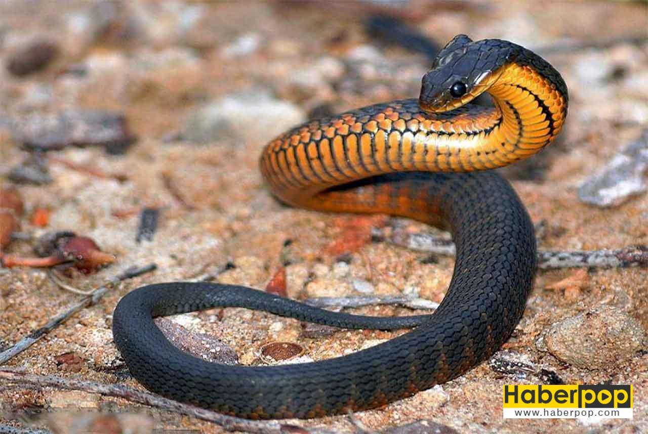 Dünyanın en zehirli yılanlarından kaplan yılanı
