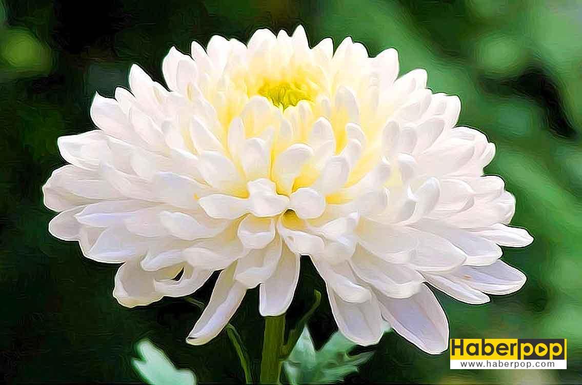 Krizantem çiçeği - Kasımpatı