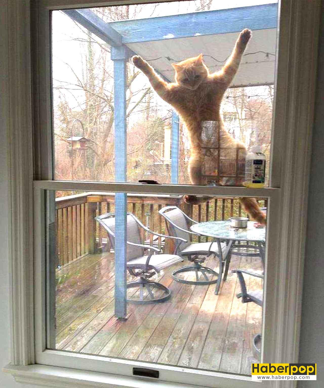 Örümcek gibi evin penceresine tırmanan yetenekli kedi