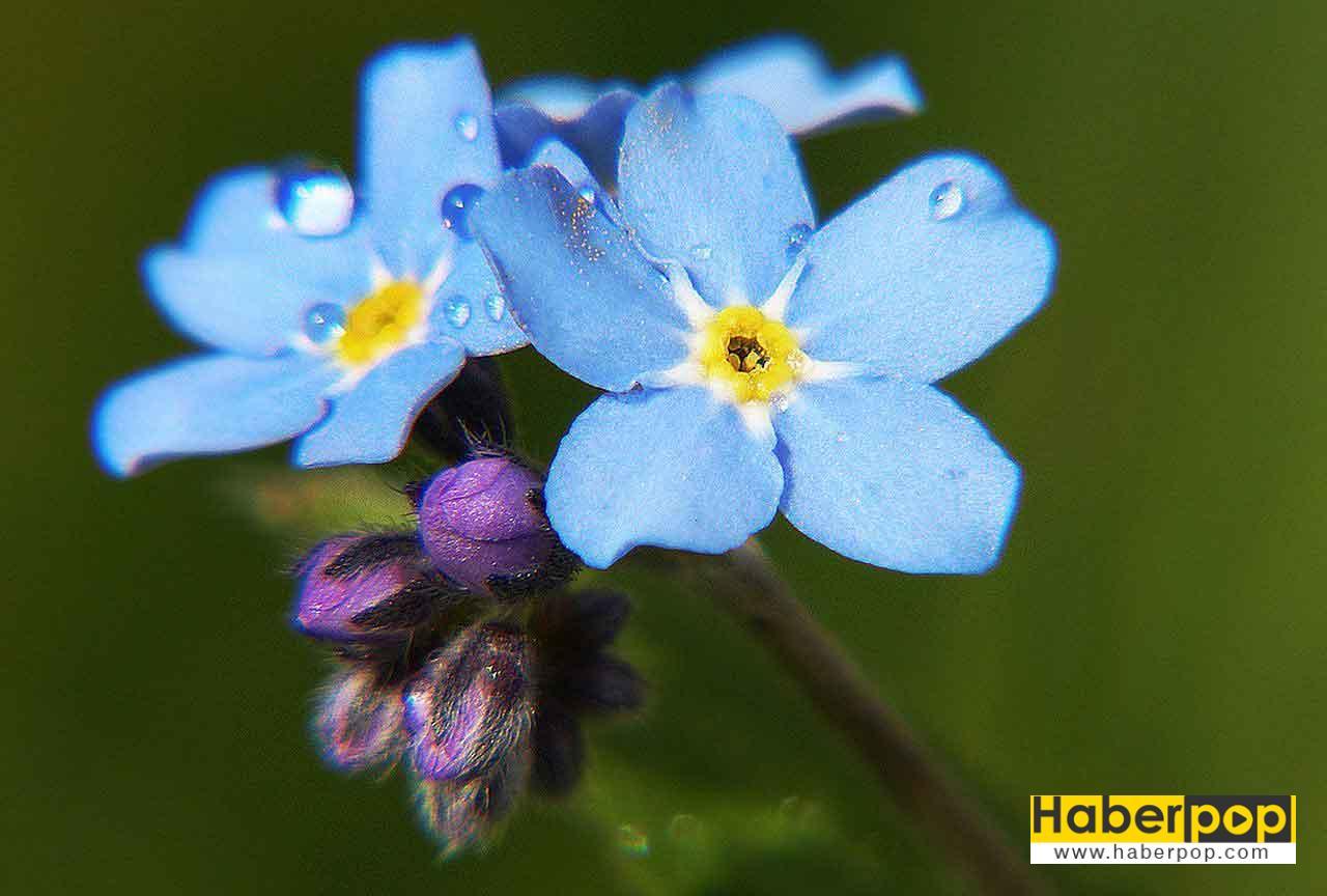 Unutma Beni çiçeği (Myosotis)