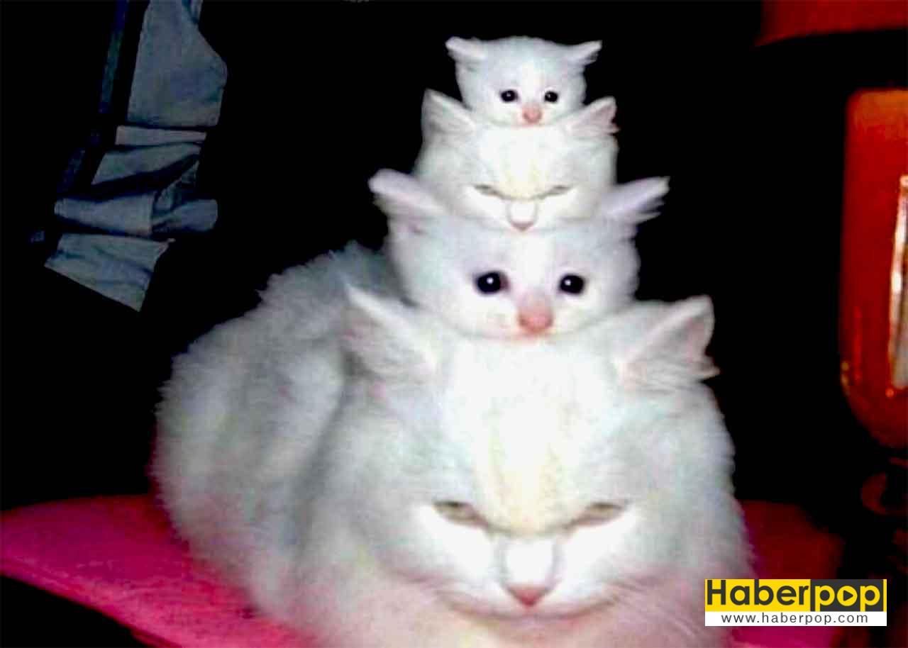 Bremen mızıkacıları gibi üst üste çıkmış kedi ailesi