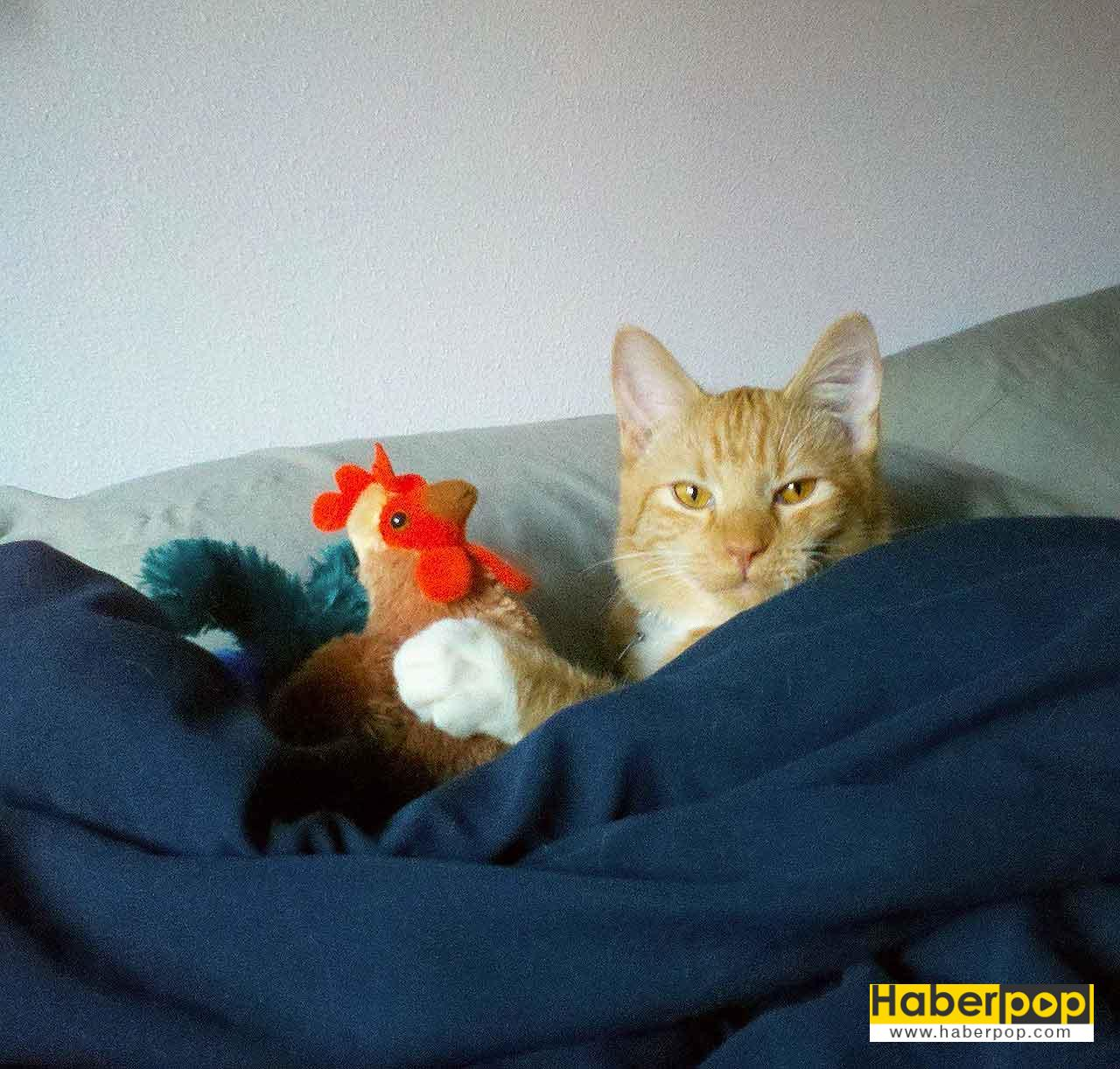 Yatağında horozla yakalanan sarman kedi